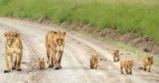 Kenya: When you spot the cab walk during a safari.     The beauty of Group joining safari is that you get to meet and interact with adventure lovers why not indulge your self.   www.allscenerybudgetsafaris.com