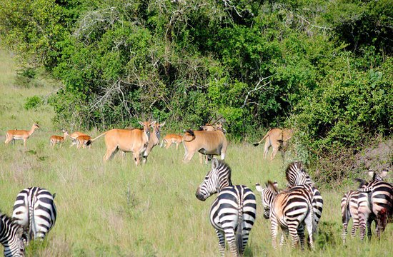 zebras and Antelopes in Akagera