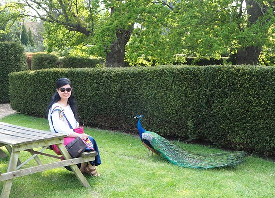 Groombridge Place Gardens: Friendly peacock checking out the visitor