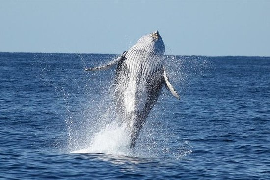 Full Day Caribbean Humpback Whale...