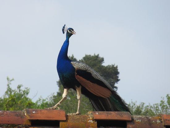 Sacred peacock watching over his territory (from the roof)