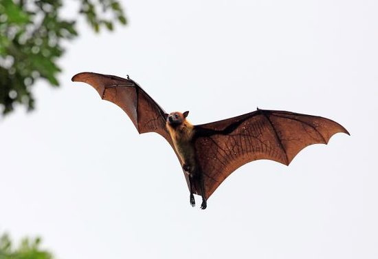 Au Cap, Seychelles: The fruit bat...