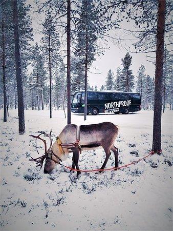 Inari, Finlandia: Our busses take travellers to reindeer safaris in Saariselkä