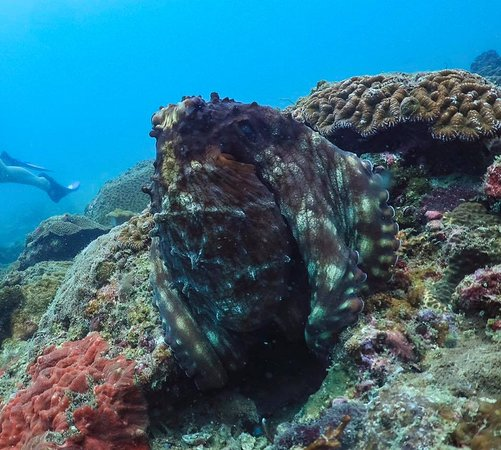 octopus camouflaging