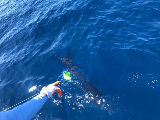 Ecuagringo Fishing: Striped marlin