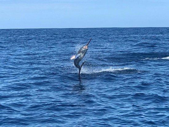 Ecuagringo Fishing: Striped marlin jump