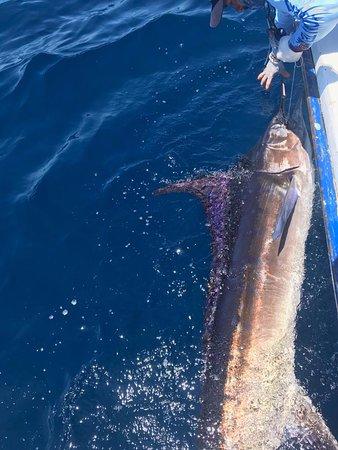 Ecuagringo Fishing: Striped marlin release