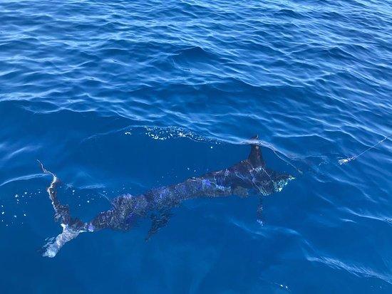Ecuagringo Fishing: Blue marlin