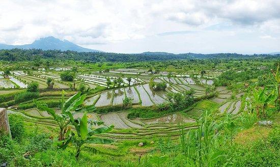 Bali-Tagestour: Die schönsten Orte: Rice Fields