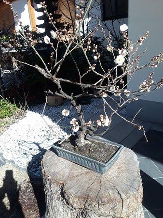 bonsai for decoration