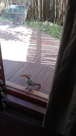 Hornbill who tapped on our lodge window every day