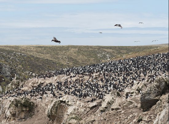 Port Howard, Falkland Islands: Rockhopper colony as seen from all-day 4x4 tour offered by the lodge.
