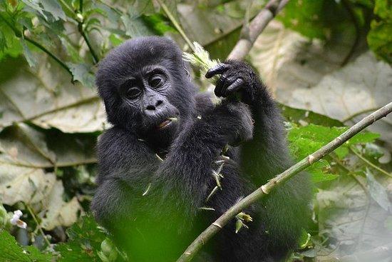 Safari de gorila