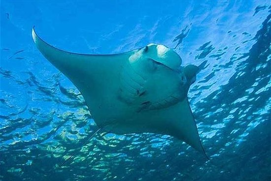 MANTA RAY REGARDANT LES MALDIVES