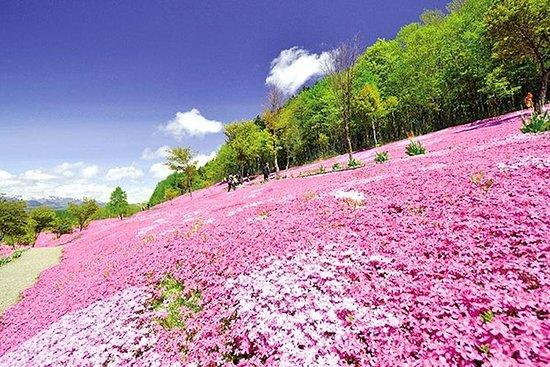 北海道で滝上の芝桜と上雪のチューリップの花が咲きました!