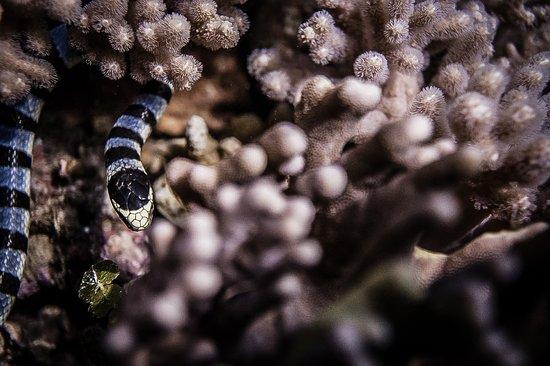 Janji Laut Diving Center: Banded sea snake