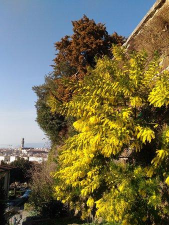 Florens, Italien: Мимоза в цвету