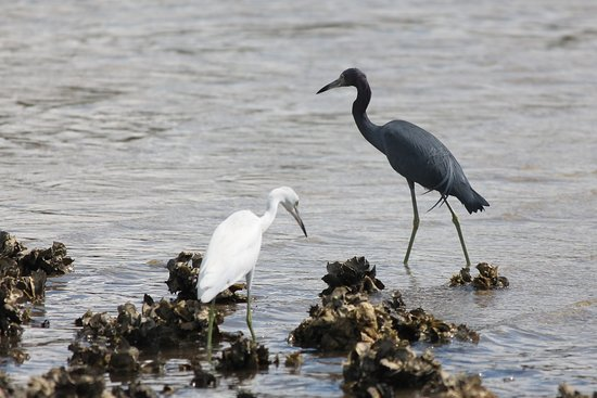Tampa, FL: Little Blue Heron and Egret along walkway