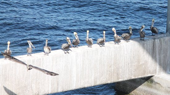 Tampa, FL: Lots of pelicans under the bridge