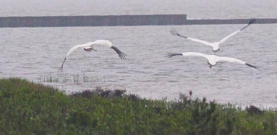 Whooping Cranes.