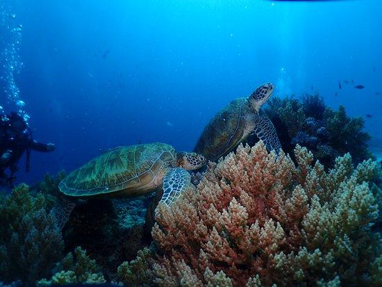 Balicasag Reef: Sea Turtles in Balicasag