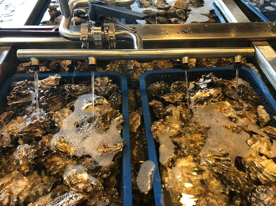 bathing oysters