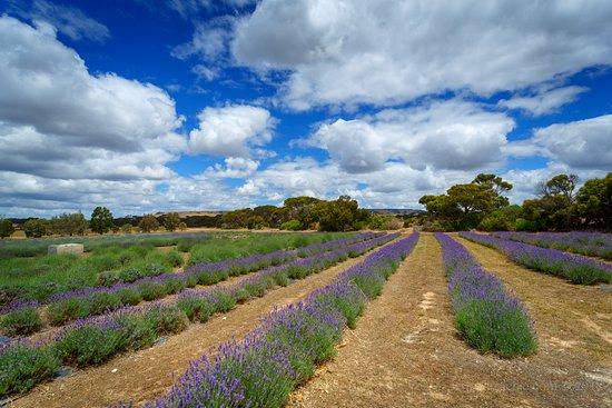 Emu Bay Lavender