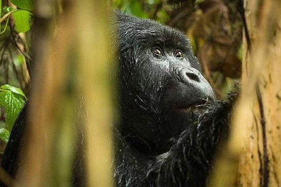 Trekking avec Gorilla Plus de 3 jours...