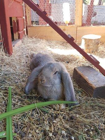 Kaniner på Prästgården, friluftsmuseet Murberget.