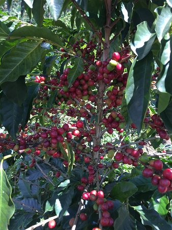 Andes, Colombia: Hermosa cosecha cafetera