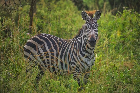 Lake Mburo Luxury Tented Camp: You will find Zebras grazing in the area