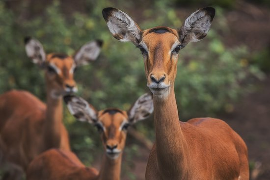 Lake Mburo Luxury Tented Camp: You will find many Impalas in this park and sometimes even close to your tent.