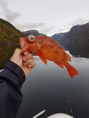 Ulvik, Noruega: The redfish from the depth (Sebastes viviparus)