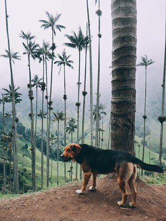 Valle del Cocora: Dog and the wax palms