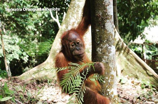 Sumatra Orangutan Explore