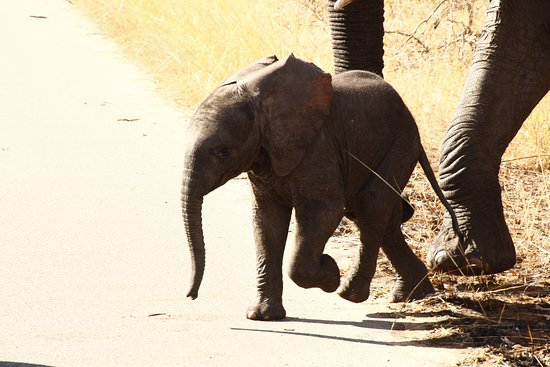 Baby elephant and Mom crossing the road.