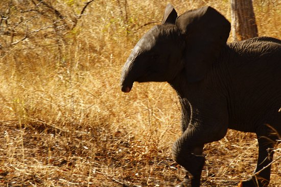 Hazyview, Afrique du Sud : Baby elephant lost it' trunk, perhaps due to a crocodile.