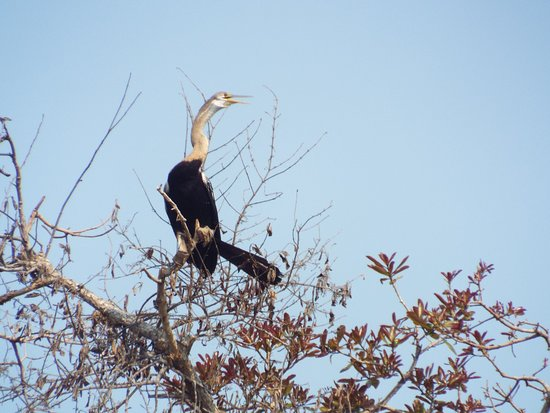 Cambodia Travel Trails: An Oriental Darter - a speciality of Prek Toal.