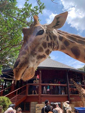 David Sheldrick, Giraffe Centre and Bomas of Kenya Full-Day Tour from Nairobi: morning giraffe