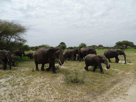Gosheni Safaris Africa: Tarangire elephants!