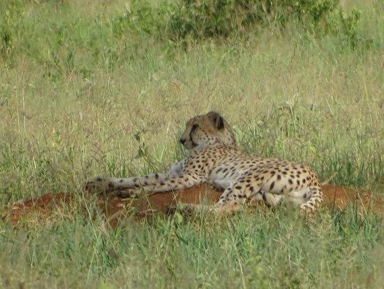 Gosheni Safaris Africa: Cheetah relaxing!