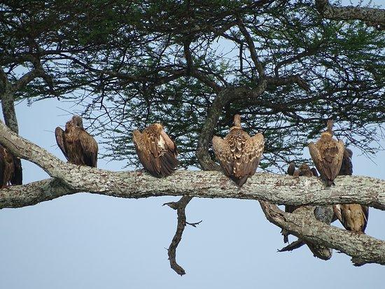Gosheni Safaris Africa: Vultures waiting....