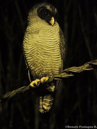 Ciccaba nigrolineata / Black-and-white Owl