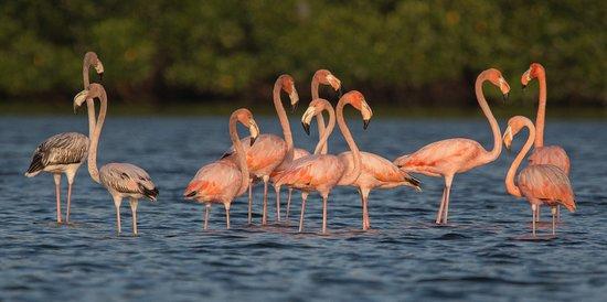 American Flamingos in Caroni Swamp