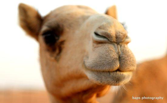 Dubai, Uni Emirat Arab: close watch camel