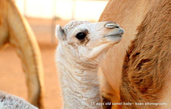 Dubai, Uni Emirat Arab: 15 days old camel