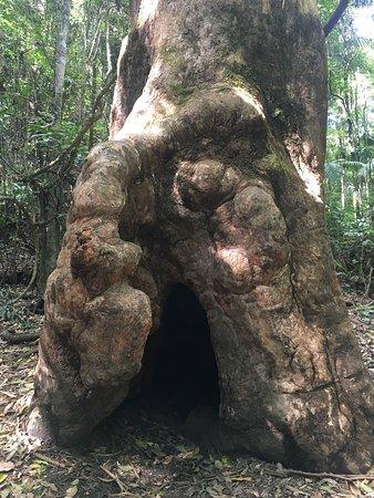 Cave like tree trink