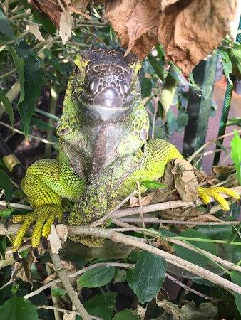 Stratford-upon-Avon Butterfly Farm: Iguana