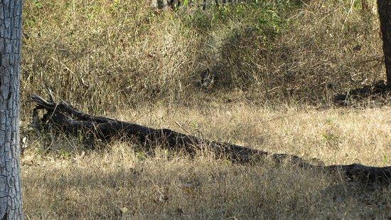 Kaav Safari Lodge - Kabini: tiger in the bush