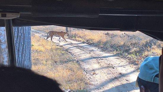 Kaav Safari Lodge - Kabini: tiger on safari